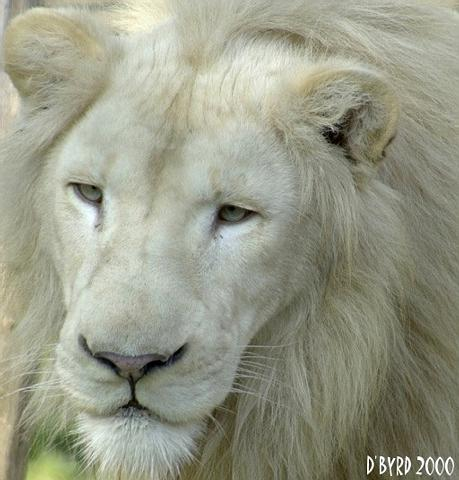 white-lion-cincinnati-zoo-donald-byrd_12