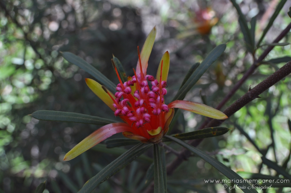 Flower in Blue Mountains, Australia / blomma, Australien