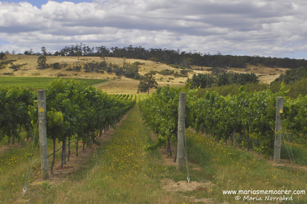 Hazards Vineyard / Devil's Corner, Tasmania, Australia