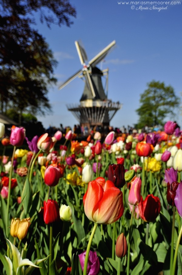 Keukenhof windmill and tulips / tulpaner och vindmölla i Keukenhof, Holland