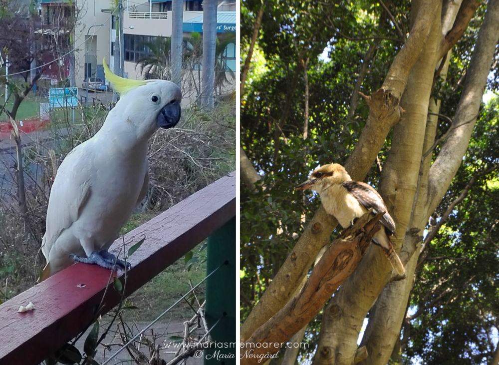 favourite birds in Australia - cockatoo and kookaburra - favoritfåglar Australien: kakadua och kokaburra