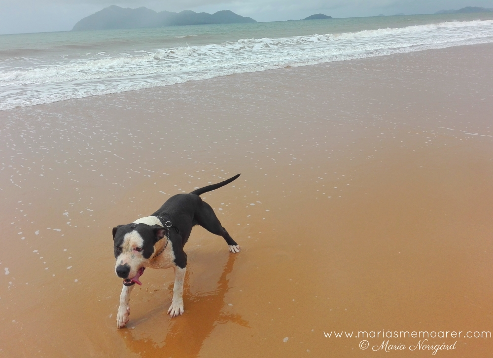 playing dog on beach in Mission Beach, Queensland, Australia