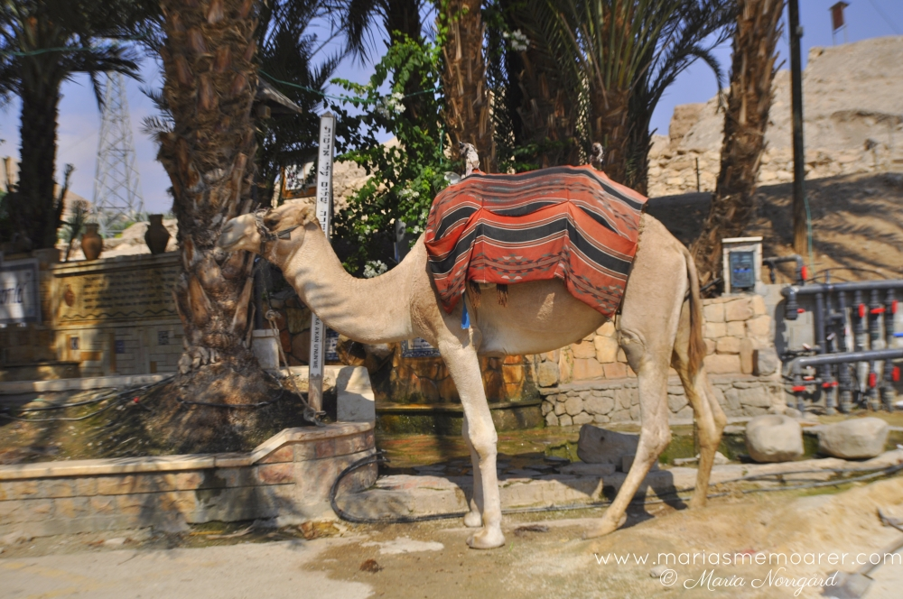 camel in Jericho, Palestine / West Bank