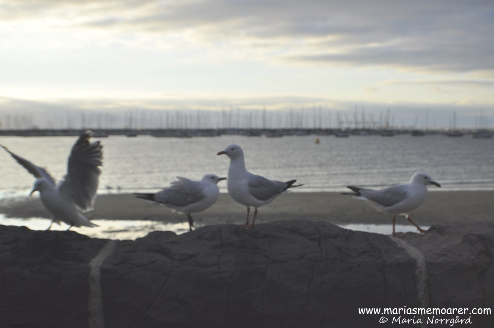 seagulls at St Kilda Beach, Melbourne, Australia