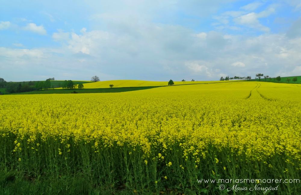canola fields in Czech Republic
