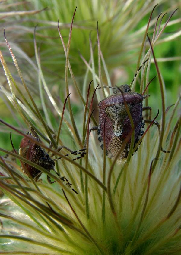 Bugs at rosen pasqueflower
