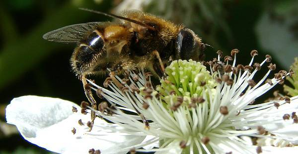 Bee at blackberry flower