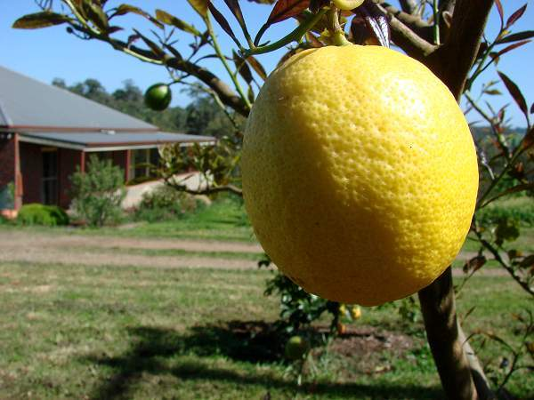 Lemon tree near the house