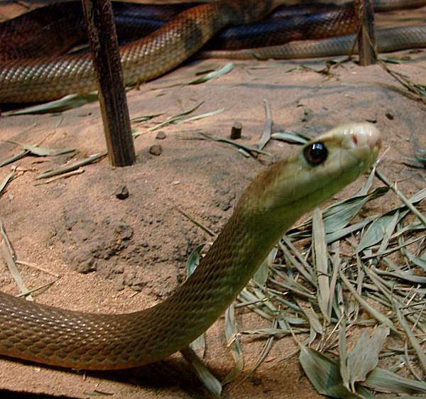 Lethally poisonous taipan