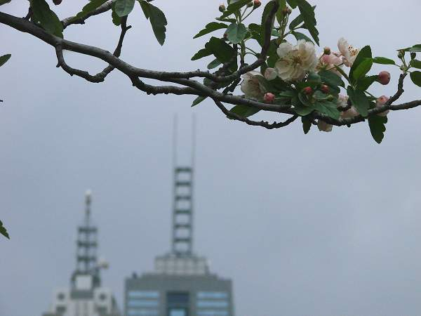 Blooming tree with skyline part behind