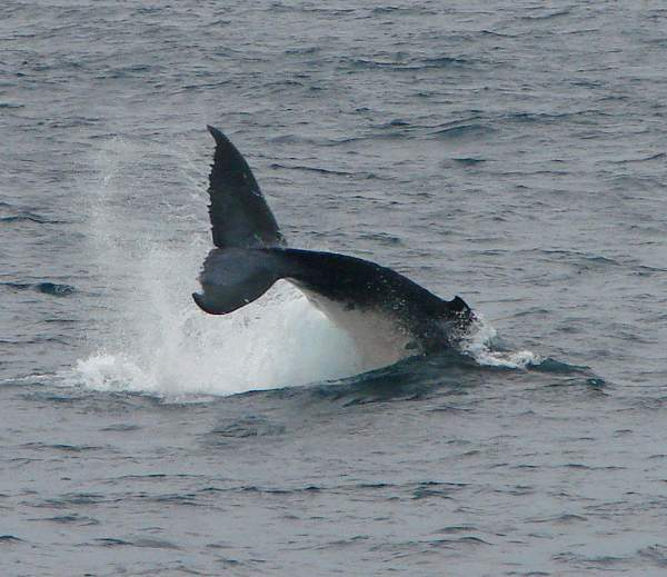 Huge tail fin