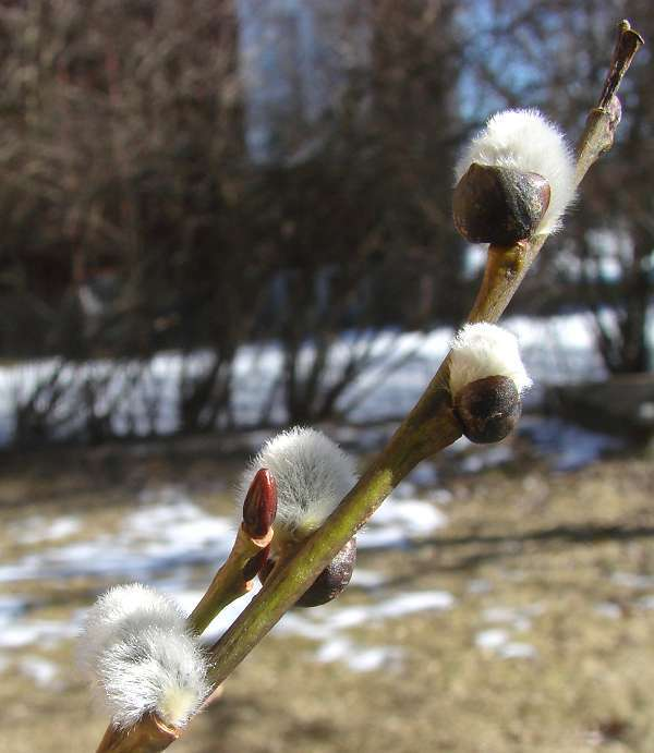 Furry willow buds