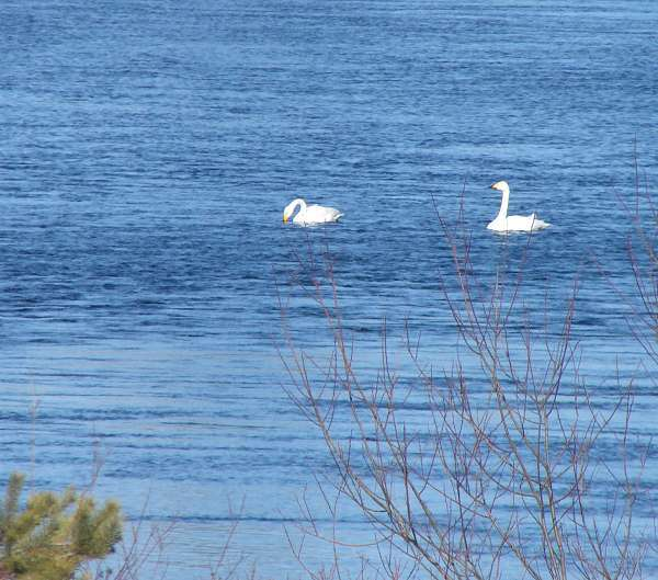 First swans on Dalälven river