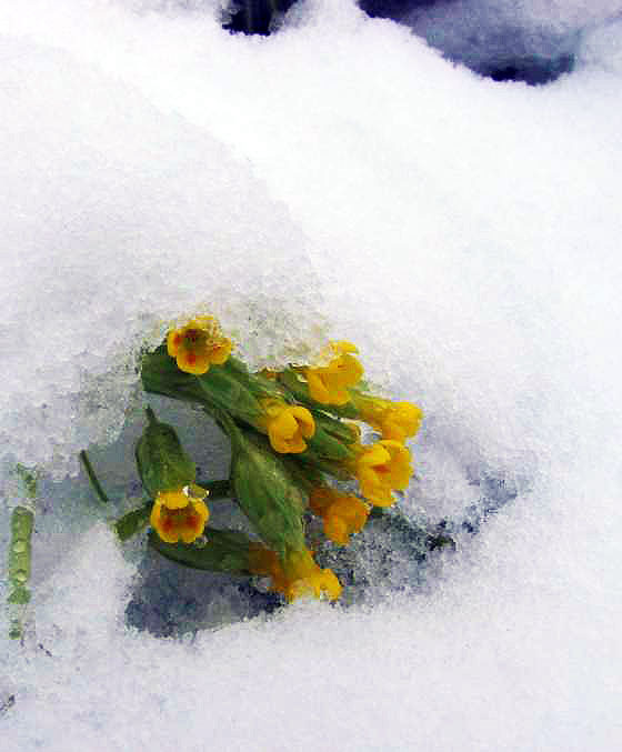 Cowslip covered by snow
