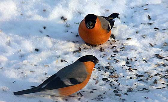 Bullfinches outside kitchen window